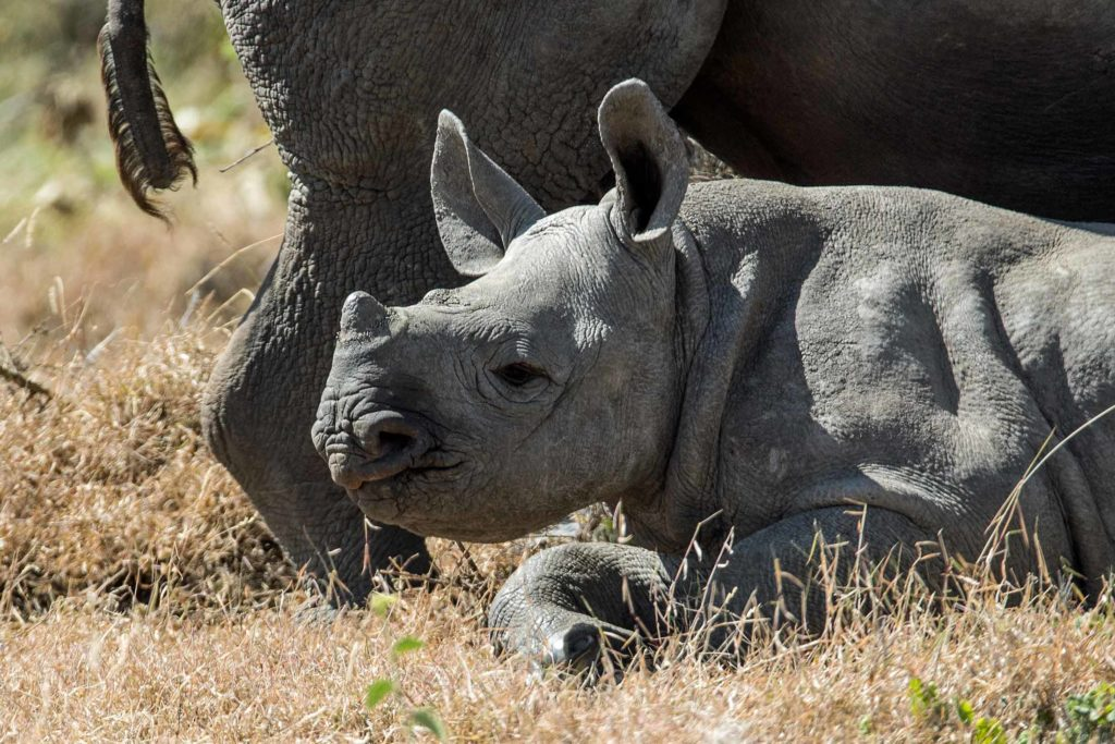 rhino calf in grass with mother in background